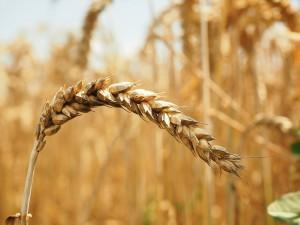 wheat-609907_1280